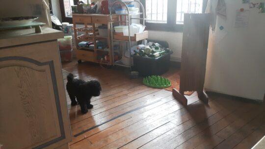 Apprendre à son chien à ne pas entrer dans une pièce.